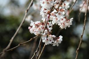 秩父長泉院のしだれ桜の素材 [FYI00180680]