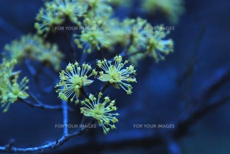 秩父音楽寺の黄色い花の素材 [FYI00180681]