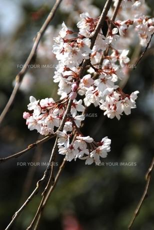 秩父長泉院のしだれ桜の素材 [FYI00180690]