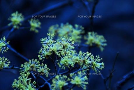 秩父音楽寺の黄色い花の素材 [FYI00180693]