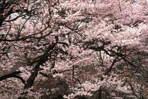 秩父音楽寺の桜の素材 [FYI00180703]