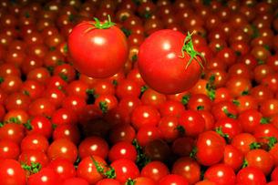 浮遊する完熟トマトの写真素材 [FYI00180813]