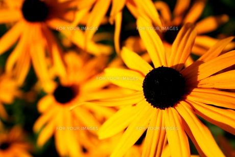 イングリッシュガーデンに咲く花の素材 [FYI00180823]