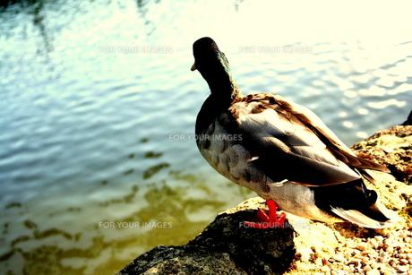 duckの写真素材 [FYI00180832]