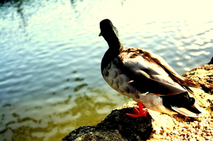 duckの素材 [FYI00180832]