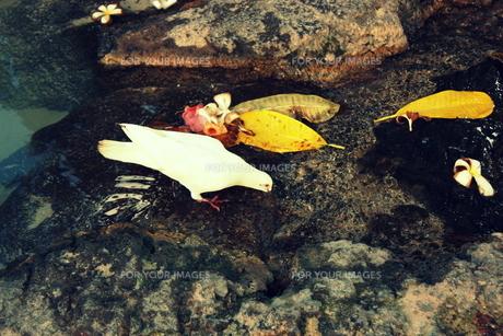 ハワイの水を飲む白鳩の素材 [FYI00180893]