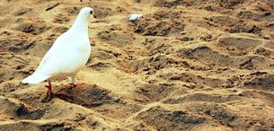 浜辺の白い鳩の素材 [FYI00180903]