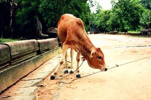 ベンメリアで出会った仔牛の写真素材 [FYI00180943]