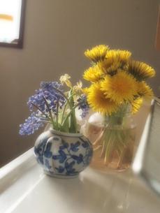 春の花 タンポポとムスカリとヒヤシンスの写真素材 [FYI00181006]