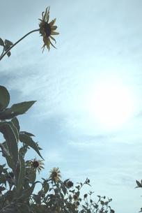ひまわり畑と夏の終わりの空の写真素材 [FYI00181021]