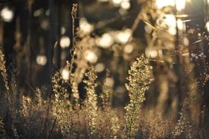 夕日に照らされた植物の素材 [FYI00181095]