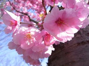 陽光(桜)の写真素材 [FYI00181161]