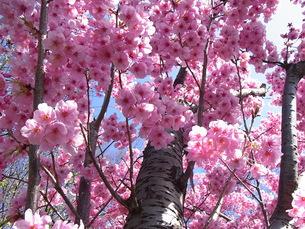 陽光(桜)の写真素材 [FYI00181165]