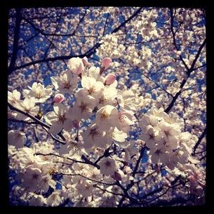 桜の素材 [FYI00181183]
