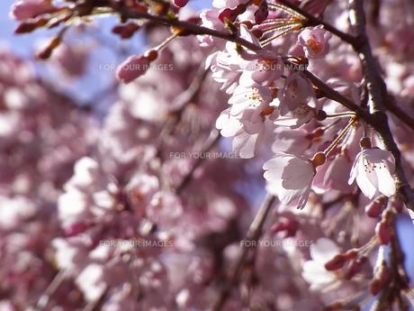 桜の素材 [FYI00181191]