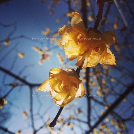 黄色い花の素材 [FYI00181200]