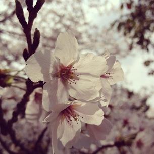 桜の素材 [FYI00181204]