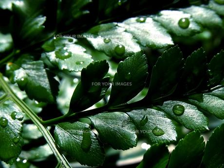 水も滴る良い葉っぱの素材 [FYI00181206]