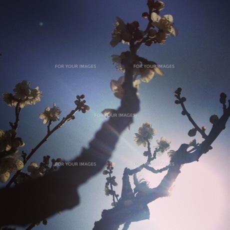 梅の素材 [FYI00181207]