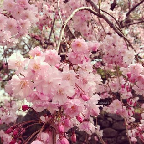 桜の素材 [FYI00181223]