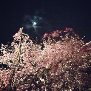 夜桜の素材 [FYI00181224]