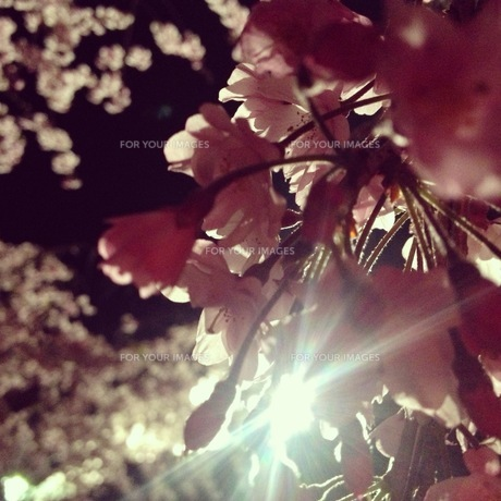 夜桜の素材 [FYI00181225]