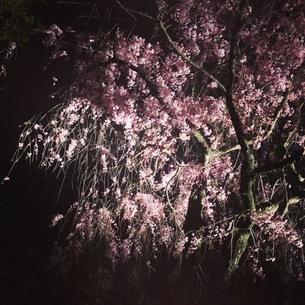 夜桜の素材 [FYI00181226]