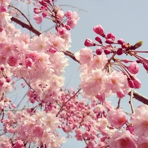 桜の素材 [FYI00181233]