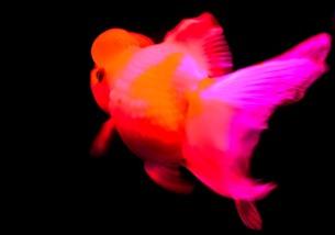金魚の素材 [FYI00181235]