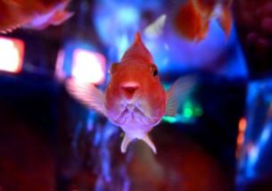 笑う金魚の素材 [FYI00181243]