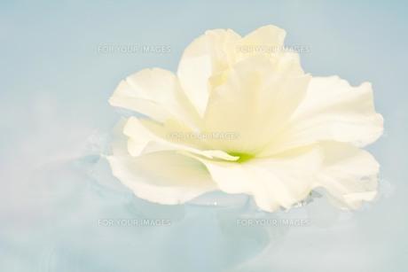 水面に浮かぶ花の素材 [FYI00181252]