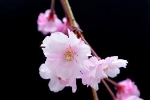 八重桜の素材 [FYI00181257]