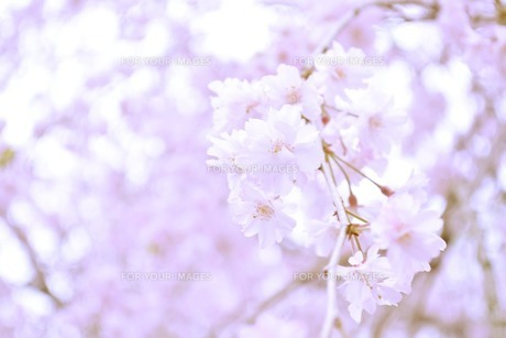 八重桜の素材 [FYI00181263]