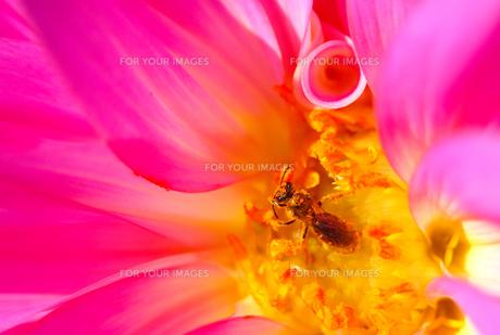 花粉まみれのハナバチの写真素材 [FYI00181268]