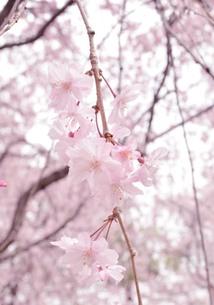 しだれ桜の素材 [FYI00181269]