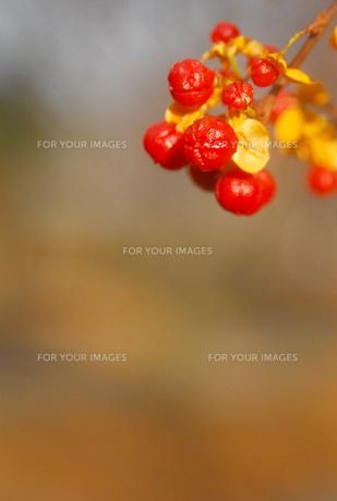 赤い実の写真素材 [FYI00181275]