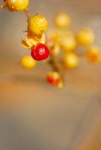 赤い実の写真素材 [FYI00181294]