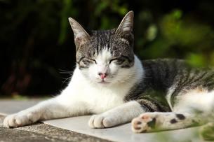 猫の写真素材 [FYI00181321]