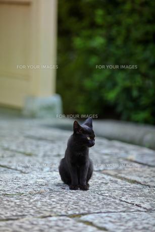 黒猫の写真素材 [FYI00181322]