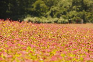 赤そば畑の写真素材 [FYI00181587]