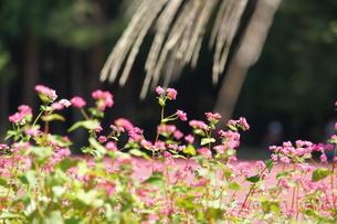 赤そばの花の写真素材 [FYI00181600]