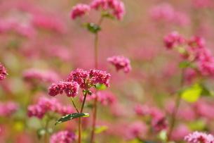 赤そばの花の写真素材 [FYI00181610]
