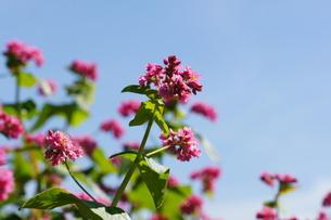 赤そばの花の写真素材 [FYI00181615]