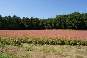 赤そば畑の写真素材 [FYI00181621]