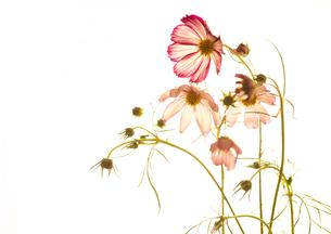 flowerの写真素材 [FYI00181693]