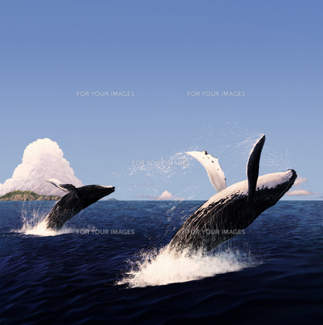 ジャンプするザトウクジラの写真素材 [FYI00181733]