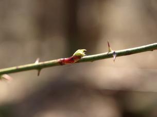 野バラの新芽の写真素材 [FYI00181938]