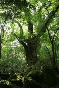 黒岳原生林の写真素材 [FYI00181985]