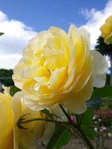 フラワーヒル菊池 バラの写真素材 [FYI00182024]