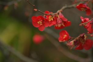 紅梅の写真素材 [FYI00182097]